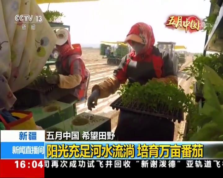新疆:阳光充足河水流淌 培育万亩番茄