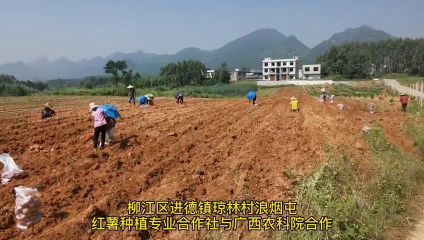 """广西柳州:美味可口""""西瓜红""""红薯获丰收"""