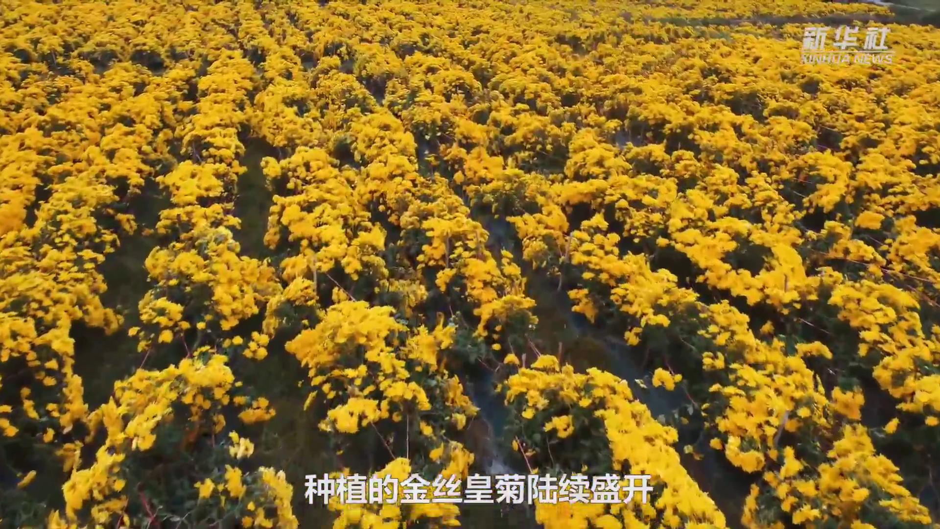 """贵州龙里:""""扶贫菊花""""铺开致富路"""